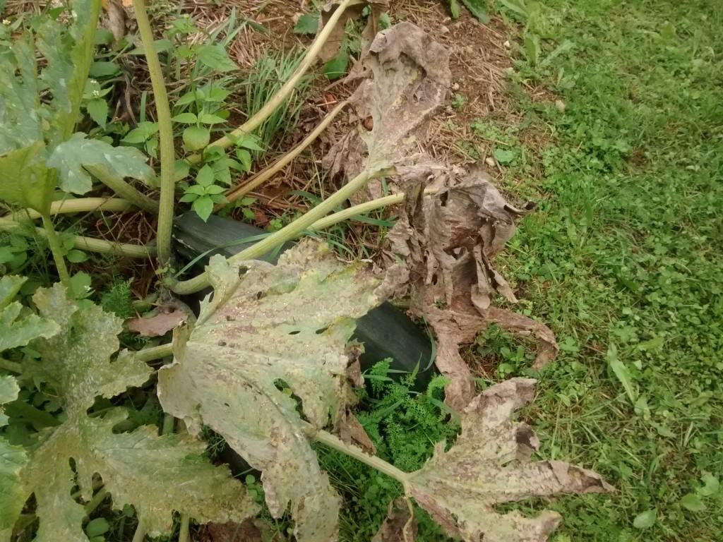 Pepelasta plesen pogosto napade liste buč