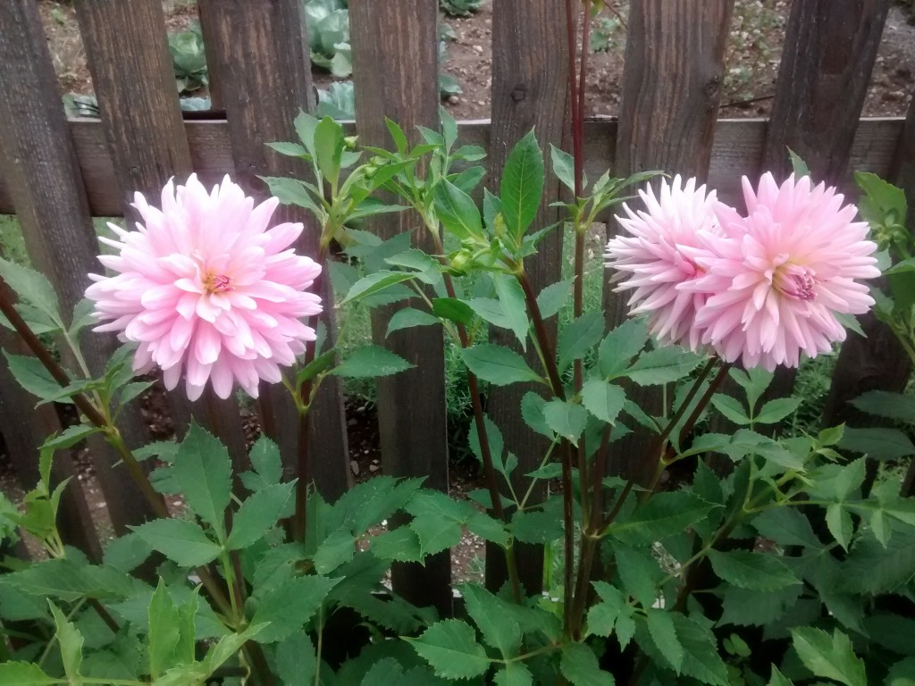 Cvetovi dalij nas razveseljujejo vse do prve slane