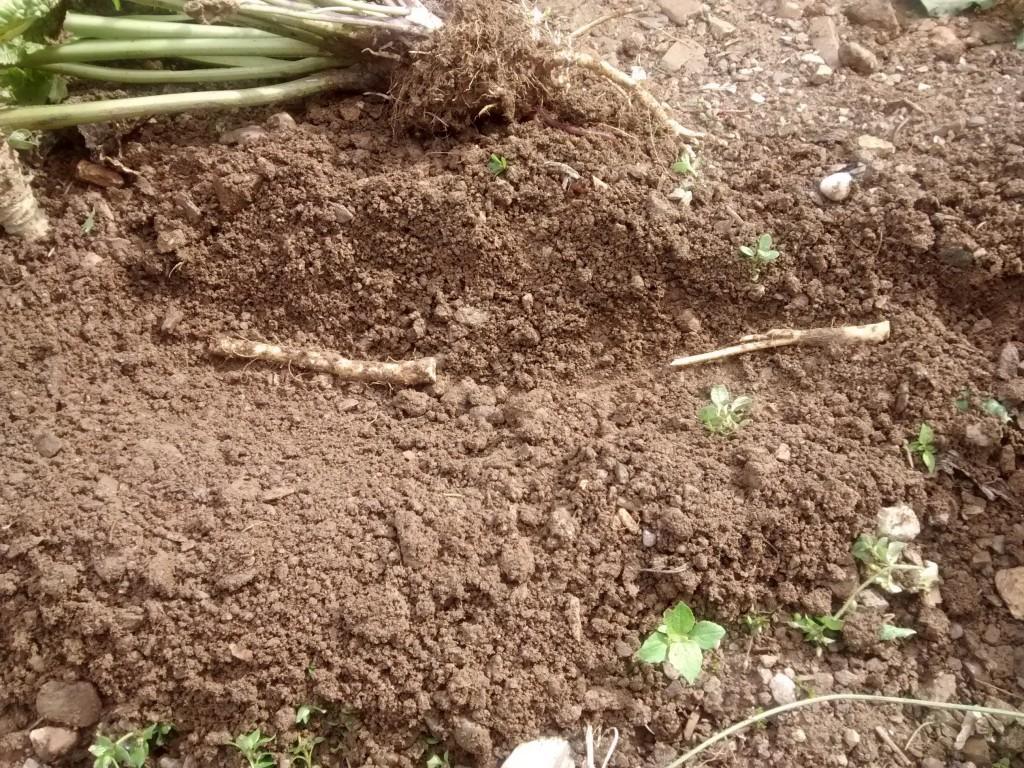 Korenine hrena pri sajenju polagamo v zemljo